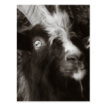 Bagot Goat Portrait Old Style - Animal Photography Postcard