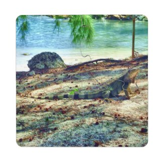 Bahama Iguana