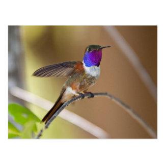 Bahama Woodstar Hummingbird Postcard