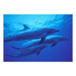 Bahamas, dophins. manchado impresion fotografica