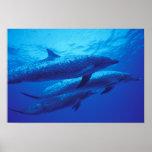 Bahamas, dophins. manchado posters