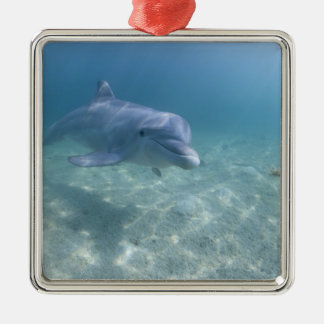 Bahamas, Grand Bahama Island, Freeport, Captive 3 Metal Ornament