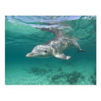 Bahamas, Grand Bahama Island, Freeport, Captive 5 Postcard
