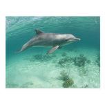 Bahamas, Grand Bahama Island, Freeport, Captive 6 Postcard