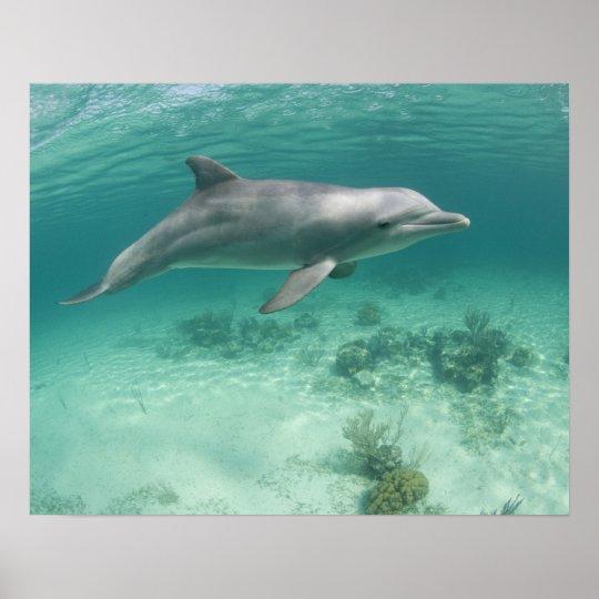 Bahamas, Grand Bahama Island, Freeport, Captive 6 Poster