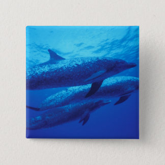 Bahamas, Spotted dophins. Button