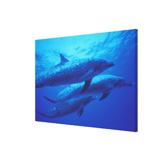 Bahamas, Spotted dophins. Canvas Print
