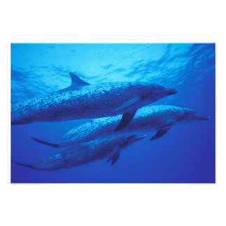 Bahamas, Spotted dophins. Photo Print