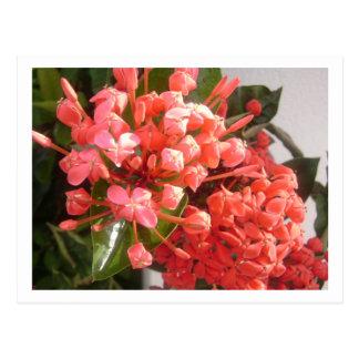 Bahamian Flowers Postcard