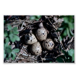 Baird's Sandpiper Nest with Eggs Poster