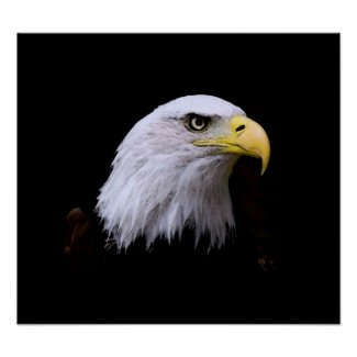 Bald American Eagle Print print