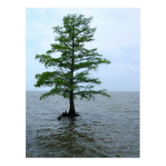 Bald Cypress in the Currituck Sound Postcard
