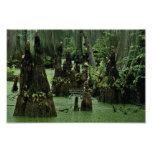 Bald cypress knees rising from swamp water poster