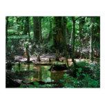 Bald Cypress Swamp post card