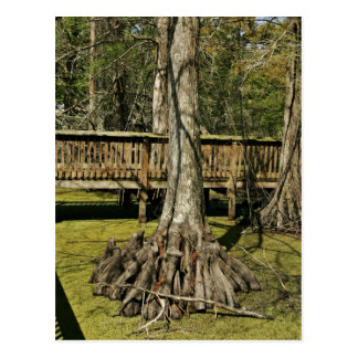 Bald cypress tree beside boardwalk postcard