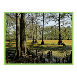 Bald cypress trees and boardwalk post cards