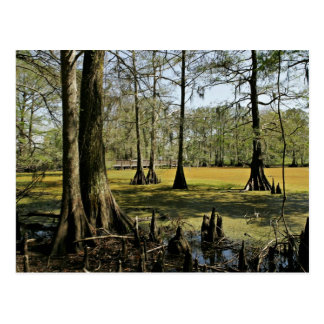 Bald cypress trees and boardwalk postcard