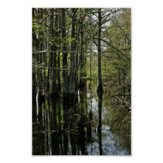 Bald cypress trees in swamp poster