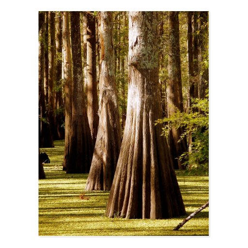 Bald Cypress Trees with Buttress Trunks Postcards