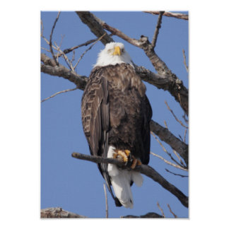 Bald Eagle 2010 Posters