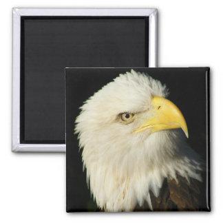 Bald Eagle 2 Inch Square Magnet