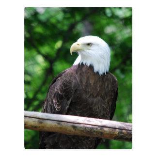 Bald Eagle Bird Postcard