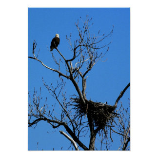 Bald Eagle by its nest canvas print