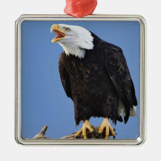 Bald Eagle calling, Homer, Alaska, Haliaetus Metal Ornament