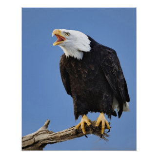 Bald Eagle calling, Homer, Alaska, Haliaetus Poster