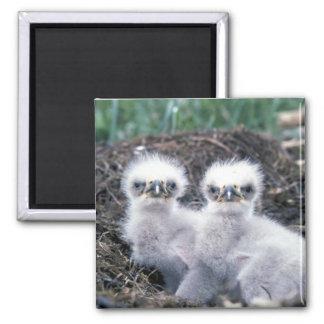 Bald Eagle Chicks 2 Inch Square Magnet