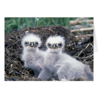 Bald Eagle Chicks Card