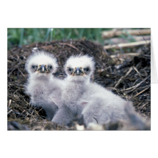 Bald Eagle Chicks Greetings Card