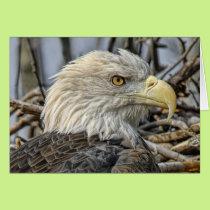 Bald Eagle Close Up Greeting Card