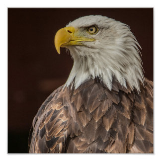 Bald Eagle design gifts and products Poster