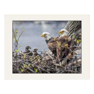 Bald Eagle Family of Four Postcard