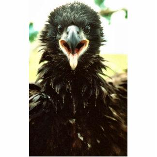 Bald Eagle Fledgling Statuette