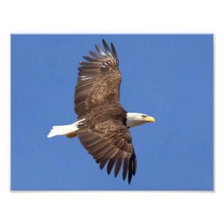Bald Eagle Flight Photo Print