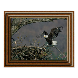 Bald Eagle 'Framed Print' Poster