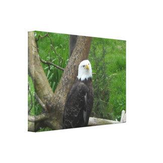 Bald Eagle Gallery Wrapped Canvas