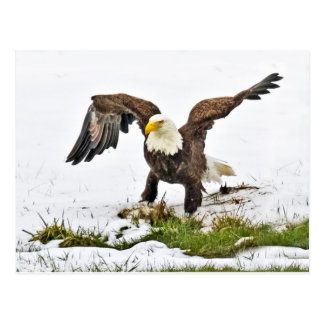 Bald Eagle Gathering Grass With Snow Postcard