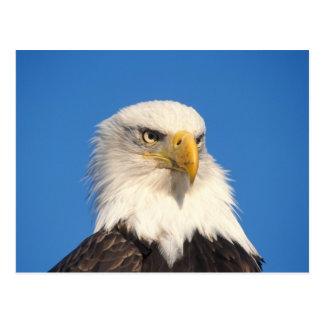 bald eagle, Haliaeetus leuccocephalus, 2 Postcard