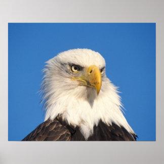 bald eagle, Haliaeetus leuccocephalus, 2 Poster