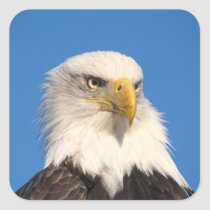 bald eagle, Haliaeetus leuccocephalus, 2 Square Sticker