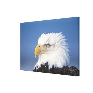 bald eagle, Haliaeetus leuccocephalus, Canvas Print