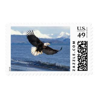 bald eagle Haliaeetus leuccocephalus in flight Postage Stamps