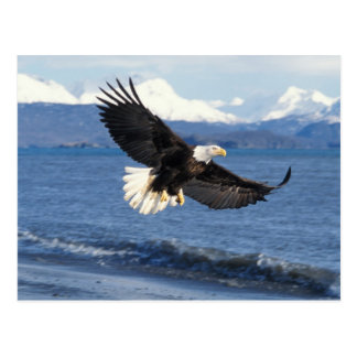 bald eagle, Haliaeetus leuccocephalus, in flight Postcard