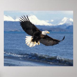 bald eagle, Haliaeetus leuccocephalus, in flight Poster