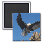 bald eagle, Haliaeetus leuccocephalus, landing 2 Inch Square Magnet