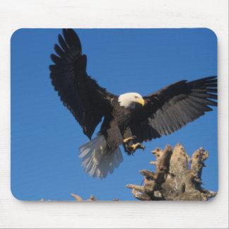 bald eagle, Haliaeetus leuccocephalus, landing Mouse Pad
