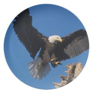 bald eagle, Haliaeetus leuccocephalus, landing Plate